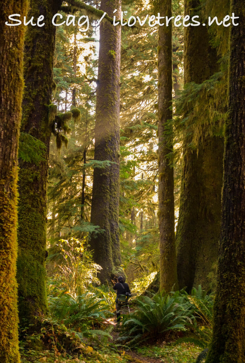 Sitka Spruce Trees in Carmanah Walbran