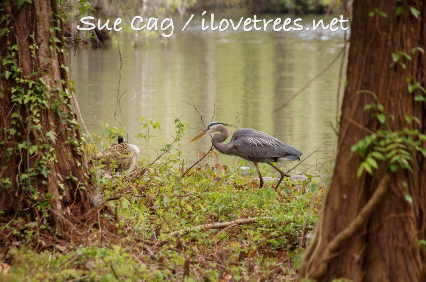 Great blue heron at Greenfield Lake Wilmington NC