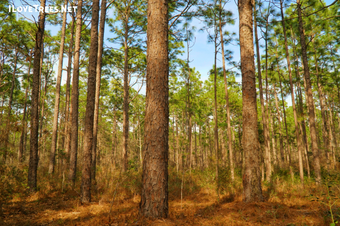 Longleaf Nature Park at UNCW