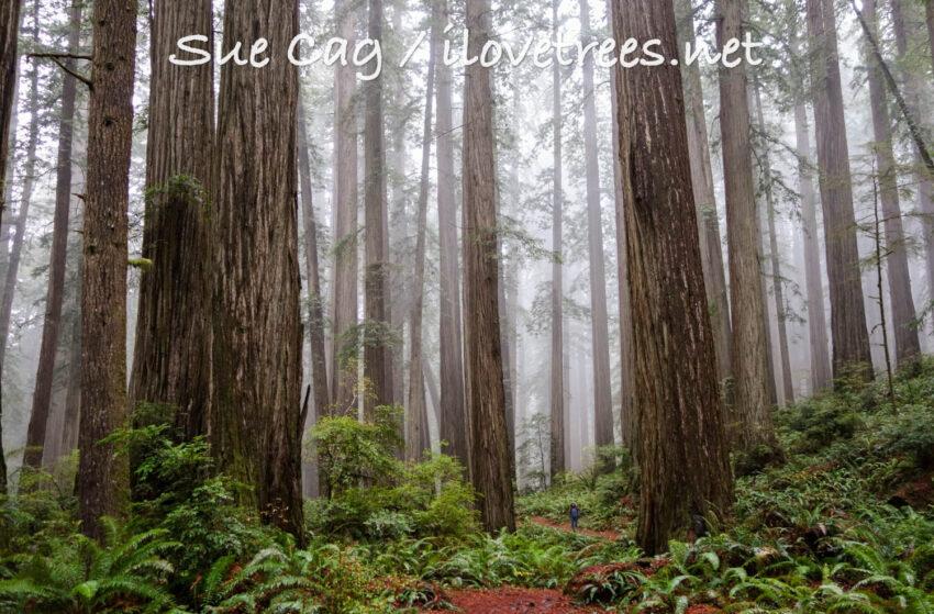 Jedediah Smith Redwoods State Park Coast