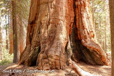 Bearskin Grove