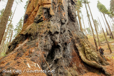 Sequoia Creek Grove