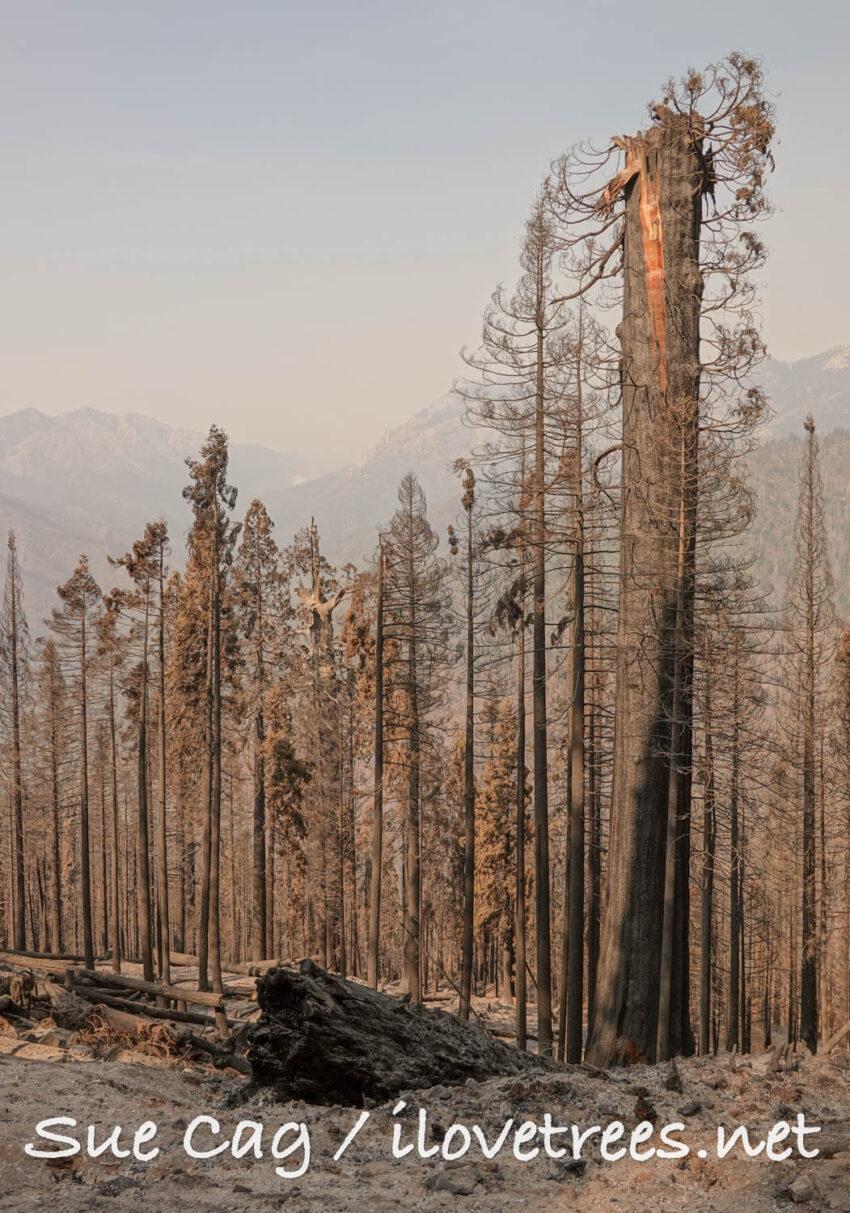 Alder Creek sequoia after Castle Fire Sequoia Crest