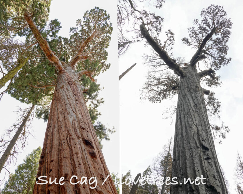 Patriarch Tree before and after Castle Fire