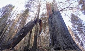Alder Creek Sequoia Killed Castle Fire