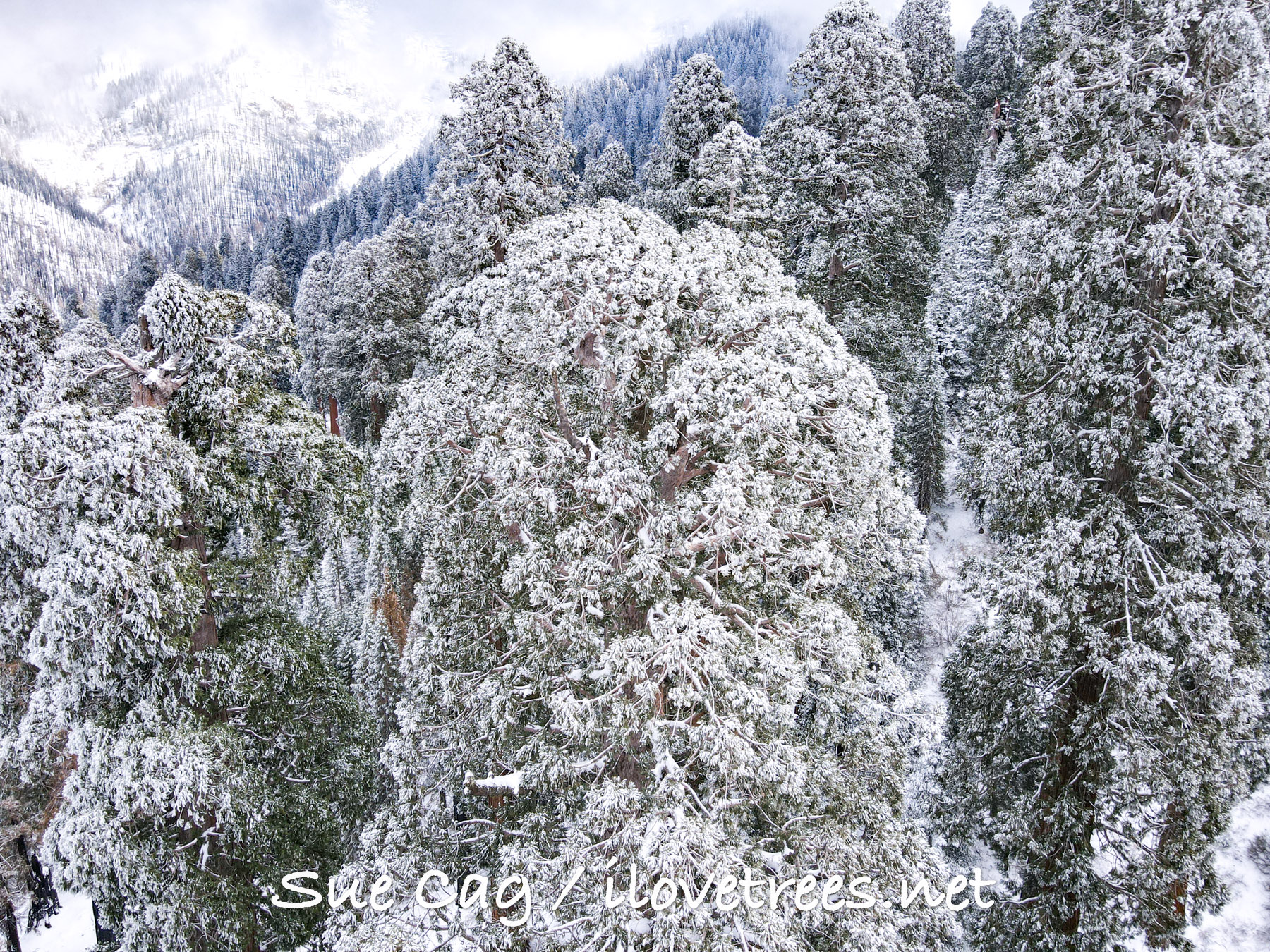 Giant Sequoias in the Snow