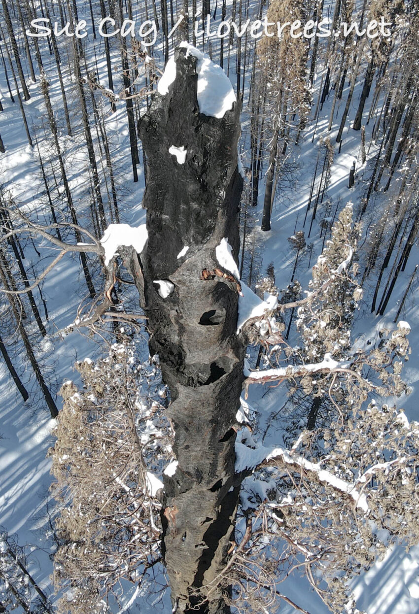 Dead Sequoias in Alder Creek Grove
