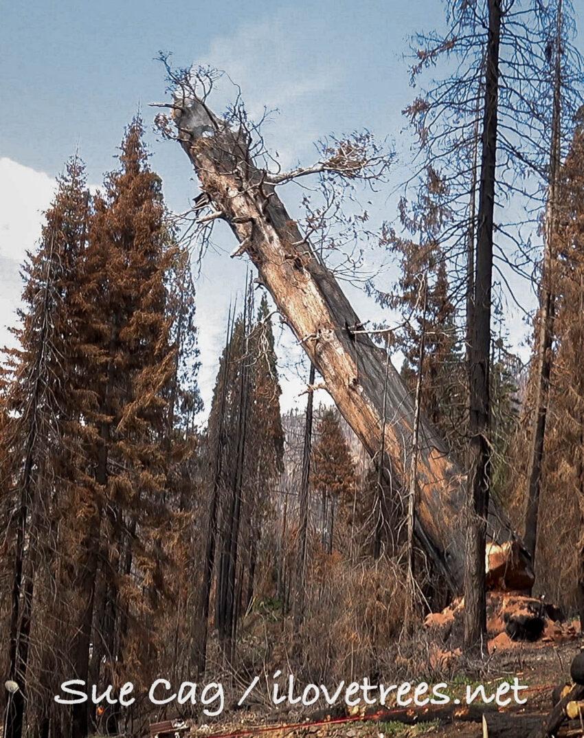 Giant Sequoia Cut Down in Alder Creek Grove