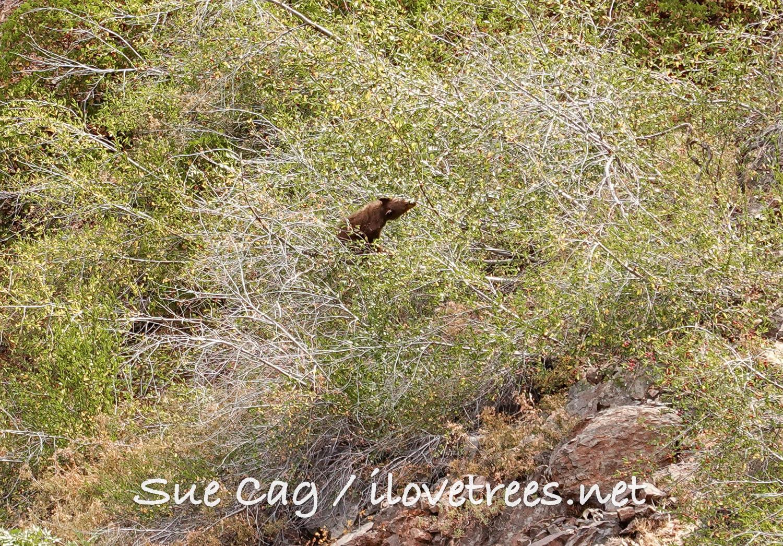 Bear in Alder Creek Sequoia Grove