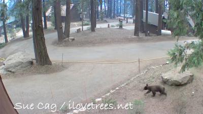 Bear in Sequoia Crest